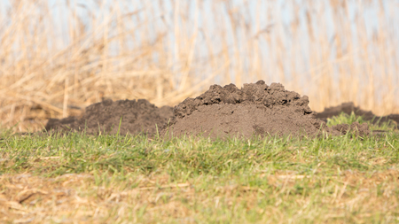 Molehill- lawn, damaged by a mole burrowing underneath and pushing up a molehill