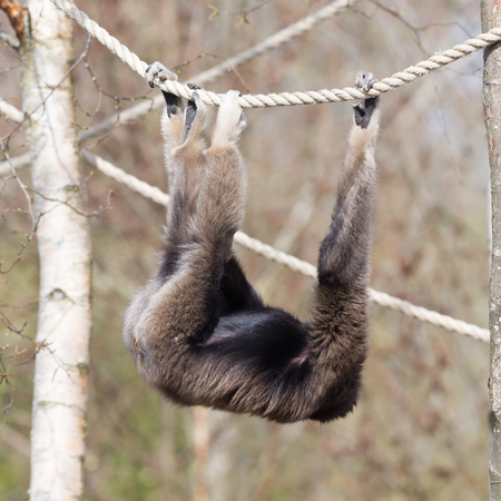 Adult white handed gibbon hanging in the ropes
