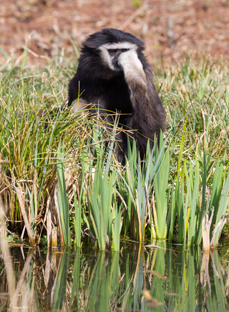 Adult white handed gibbon drinking from a small river