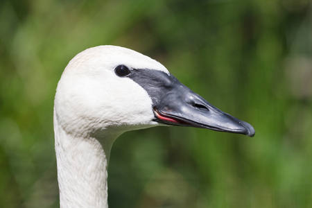 Closeup of a trumpeter swan (cygnet), selective focus