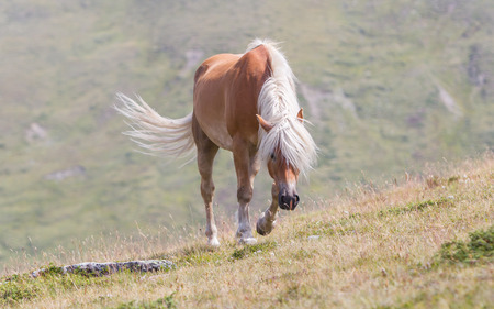 Beautiful haflinger horse in the Alps  mountains in Tirol, Austria Banque d'images