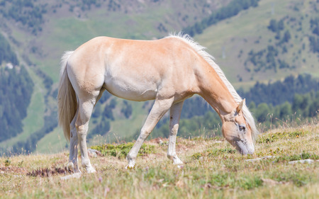Beautiful haflinger horse in the Alps / mountains in Tirol, Austria Standard-Bild