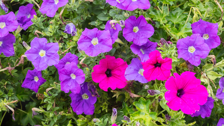 Petunia flowers, pink and purple - Southern Germany Banque d'images