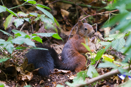 Squirrel in the forest - Southern Germany - Schwarzwald Banque d'images