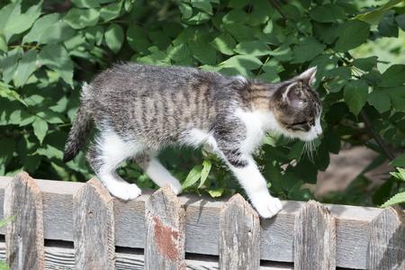 Funny little kitten walking on a wooden fence