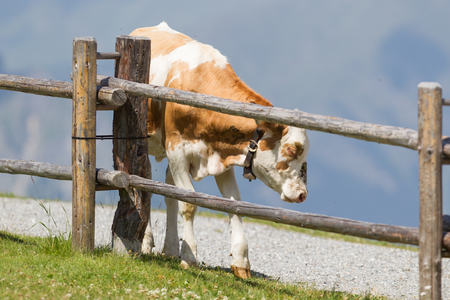 Milk cow in a meadow of grass, Alps, Austria Banque d'images
