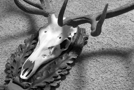 Large deer hunting trophy hanging on a wall Banque d'images