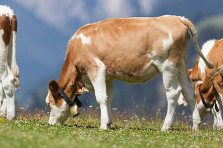 Milk cow in a meadow of grass, Alps, Austria Stock Photo