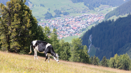 Milk cow in a meadow of grass, Alps, Austria Standard-Bild