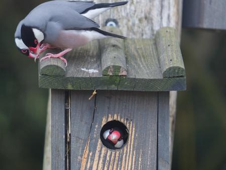 Weaver bird peeking out of its nest - Selective focus