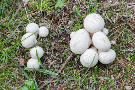 Lycoperdon perlatum (common puffball, warted puffball, gem-studded puffball)
