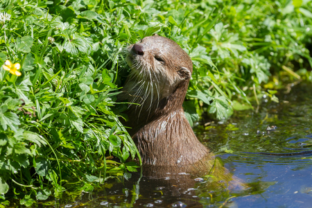 Small claw otter swimming in the water Stock Photo