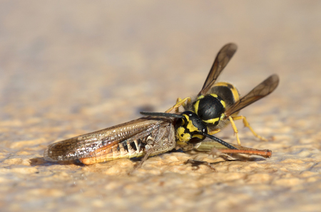Wasp cutting of a grasshoppers head - Closeup Stock Photo