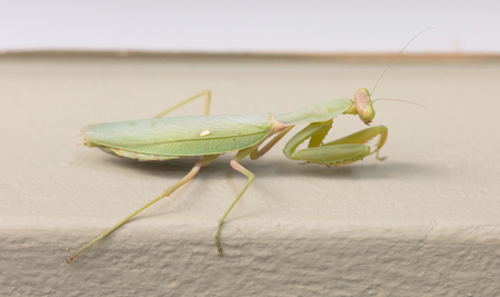 Green praying mantis on a wall (Mantis religiosa) - Selective focus on the head Stock Photo