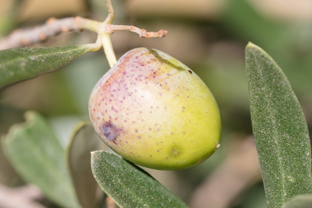 Olive in a tree - Private garden in Greece