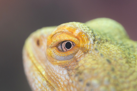 Close-up of a green iguana resting, selective focus Stock Photo - 92522166