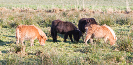 Shetlandpony in the Netherlands - Cold and windy Stock Photo