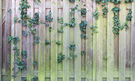 Ivy on a wooden fence - Garden in the Netherlands Banque d'images