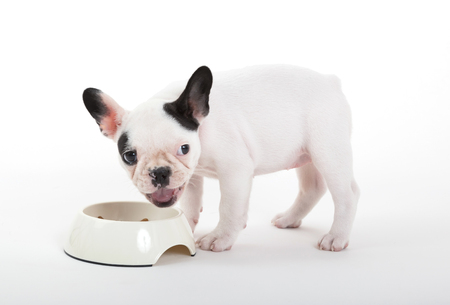 French puppy bulldog eating, isolated on a white background, selective focus Banque d'images