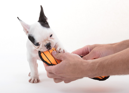 French puppy bulldog, isolated - Playing with a toy