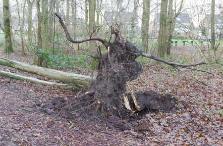 Fallen tree in a dutch forest - Storm