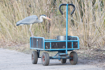 Blue heron standing on a cart loaded with a bucket of fish - The Netherlands Stock Photo
