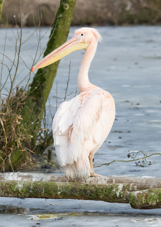 Pelican standing at a frozen pond, slightly confused what to make of it Stock Photo