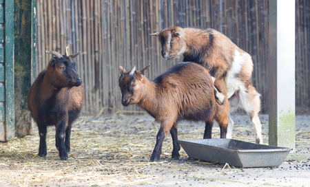 Two goats breeding - Spring in the Netherlands
