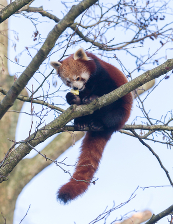 Red panda eating a apple in a large tree