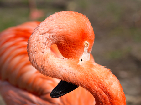 Pink flamingo close-up, isolated on green grass background