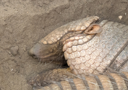 Sleeping armadillo (Chaetophractus villosus) - Resting in the sand - Selective focus on eye