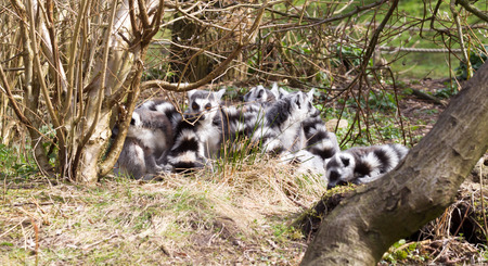 Ring-tailed lemur (Lemur catta), group in a tree enjoying the winter sun