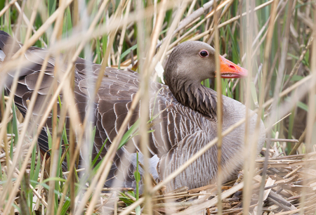 Greylag goose sitting on a nest - Hidden in the reeds