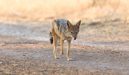 Black backed jackal (Canis mesomelas) walking in the Kalahari, Botswana Stok Fotoğraf