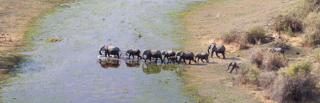 Elephant family crossing water in the Okavango delta (Botswana), aerial shot Фото со стока