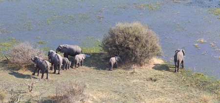 Elephants in the Okavango delta (Botswana), aerial shot Фото со стока