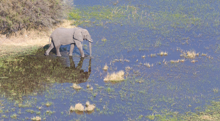 Elephant crossing water in the Okavango delta (Botswana), aerial shot