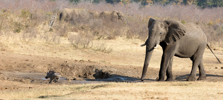 Warthog chased away by an african elephant, waterhole - Namibia