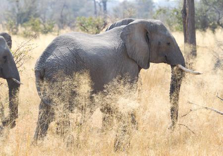 African elephant (Loxondota africana) eating - Closeup - Namibia