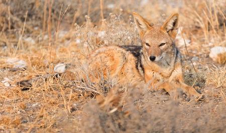 Black backed jackal (Canis mesomelas) in the morning sun, Kalahari, Botswana