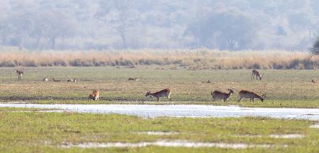 Red lechwe (Kobus leche) near water, Namibia Imagens