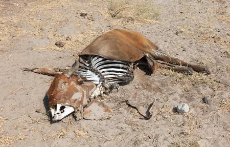 Dead cow medium close up, cause of death unknown - Botswana Stockfoto