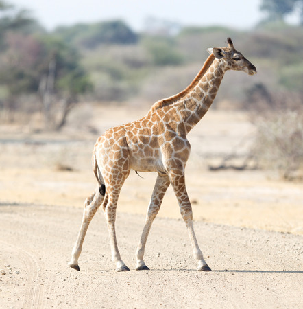 Single young giraffe (Giraffa camelopardalis) in Namibia