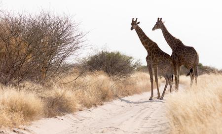Two giraffes blocking the road, Kalahari - Botswana