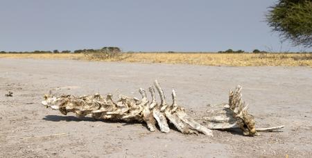 Spine of an animal in the Kalahari desert