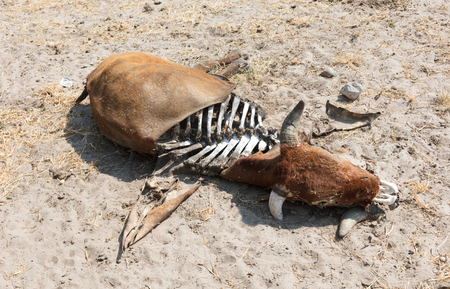 Dead cow medium close up, cause of death unknown - Botswana Stock Photo