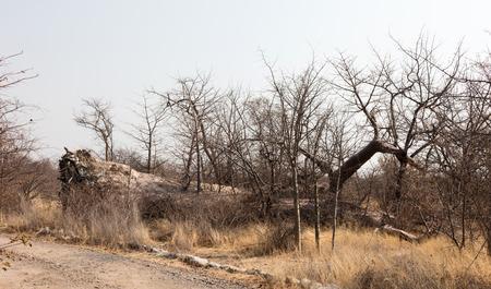 Large baobab tree fallen in the north of Botswana