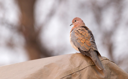 Laughing Dove (Spilopelia senegalensis) on a tent in Botswana