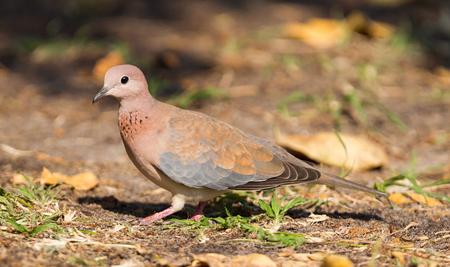 Laughing Dove (Spilopelia senegalensis) on the ground in Botswana Stock Photo
