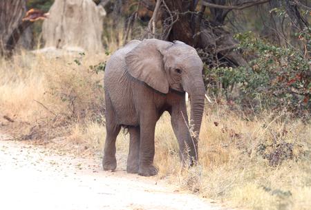 Elephant calf crossing a road - Moremi, Botswana Stock Photo